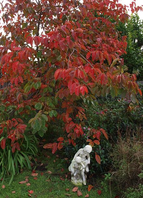 Garden Persimmon Tree