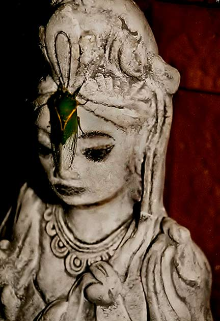 A live cicada visiting the Kuan Yin statue in the lounge room