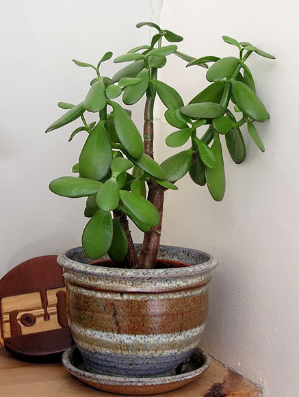 jade money plant in ceramic planter