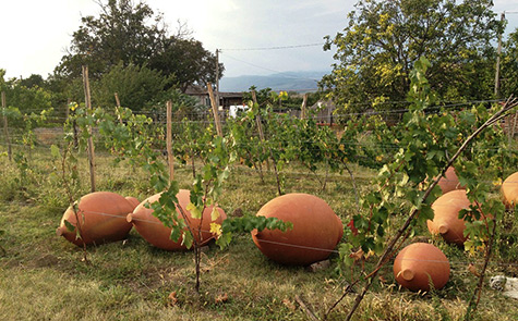 Qvevri pots in a Georgian vineyard
