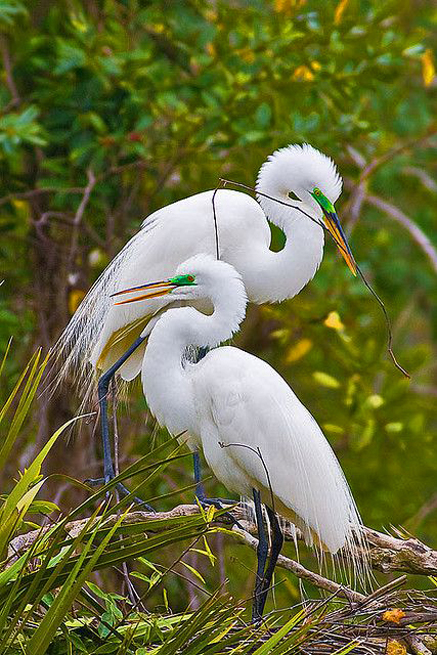 Nesting-Great-Egrets-by-Guy-Schmickle-on-Flickr