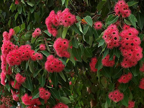 Pink-gumtree-flowers