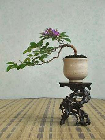 Bonsai-Colonel-Lao-Tsu