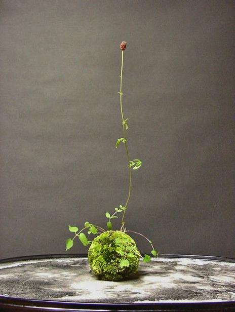 Kokedama---Japanese-moss-balls - a Japanese variant of bonsai