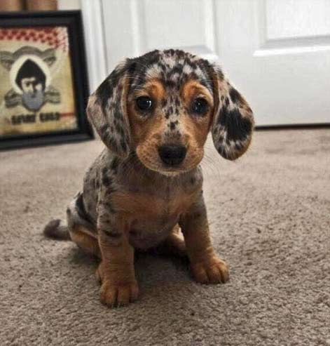Silver dapple dachshund puppy dog