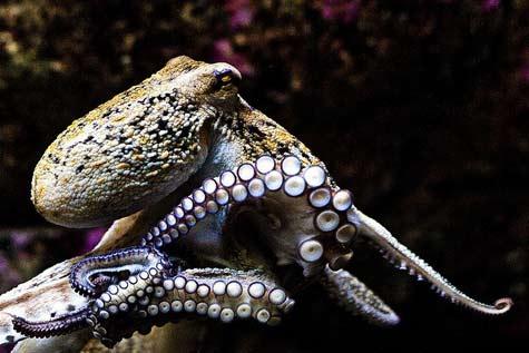 Cephalopod-Octopus