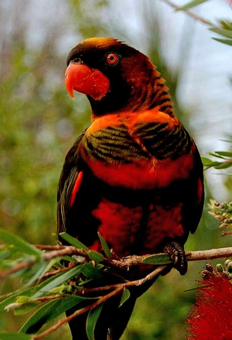 Red, black and orange Dusky Lory Parrot-(Pseudeos-furcata)-endemic-to-Indonesia-and-Papua-New-Guinea