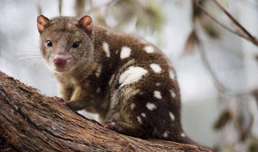 endangered-tiger-quoll in the bush