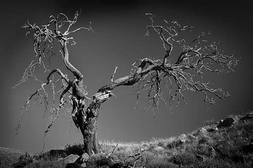 ancient-sheoak-allocasuarina-verticillata-bill-doyle