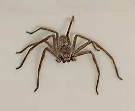 huntsman-spider friendly spider