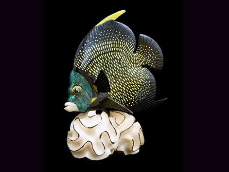 French-Angelfish-Figurine-tagua-sculpture Wounaan-tribe-of-Panama