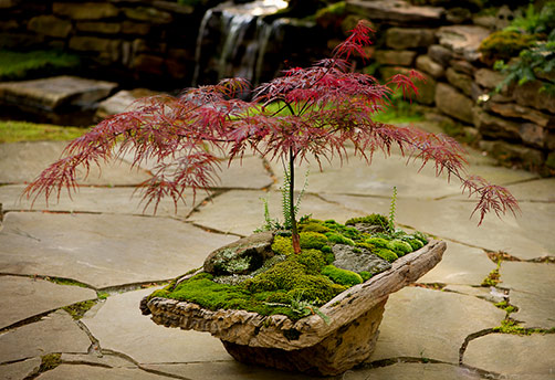 Japanese-Red Maple bonsai_moss and stone gardens