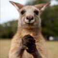Australian Forester kangaroo eating --- Adam Foster